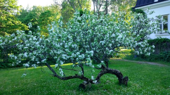 Apple tree flowering, Tammela Saari #tammelasaari